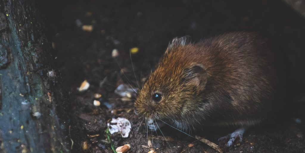 Vermin digging into waste bin and possibly act as COVID-19 carriers